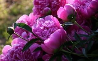 Нужно ли обрезать пионы после цветения