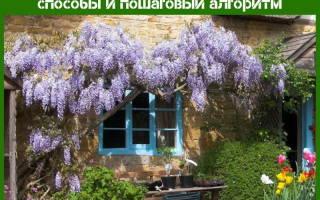 Размножение Глицинии выращивание растения в домашних условиях