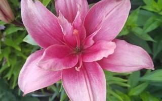 Новые сорта лилий