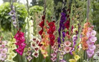 Правильный уход за гладиолусами после цветения и до него
