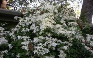 Особенности жгучего мелкоцветкового клематиса