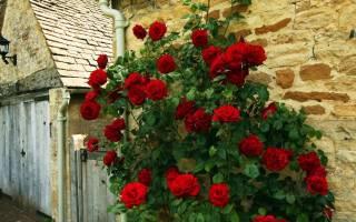 Вьющиеся розы сорта цветущие все лето