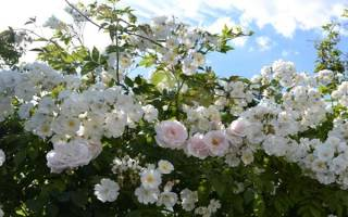 Как ухаживать за вьющейся розой
