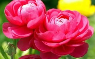Пионы фото цветов разных сортов
