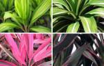 Комнатное растение кордилина