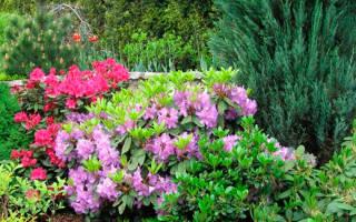 Рододендроны морозоустойчивые сорта фото