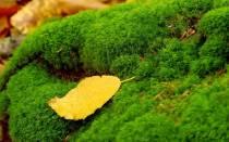 Моховидные растения примеры