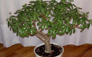Обезьянье дерево комнатное растение