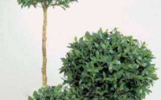 Растение лавровый лист в домашних условиях