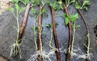 Размножение малины зелеными черенками