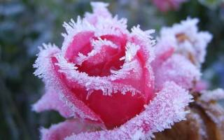 Можно ли укрывать розы на зиму пластиковыми бутылками
