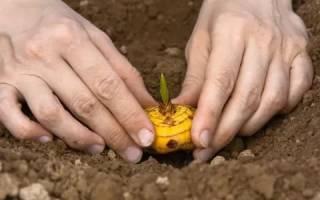 Технология посадки гладиолуса весной в открытый грунт