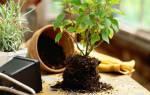 Лучшее время для пересадки комнатных растений