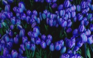 Голубые тюльпаны фото