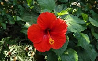 Китайская роза садовая многолетняя