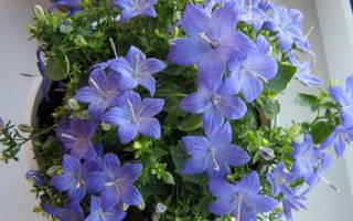 Комнатный цветок с голубыми цветочками фото