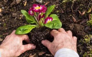 Правила посадки многолетних цветов