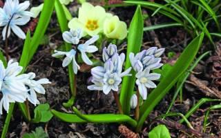 Многолетние луковичные цветы для сада