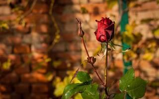 Какие работы включает подготовка роз к зиме