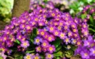 Особенности выращивания многолетней примулы как садовой культуры