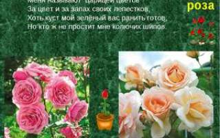 Описание цветка роза