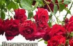 Зимостойкие сорта плетистых роз названия, описания и фото