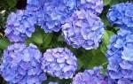 Цветы голубого цвета названия