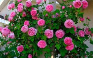 Надо ли укрывать плетистые розы на зиму