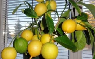 Почему скручиваются листья у лимона комнатного