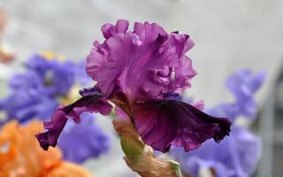 Цветы ирисы бородатые с фото