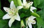 Чем удобрять лилии