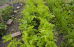 Пастернак растение польза и вред
