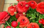 Комнатные цветы, похожие на розы