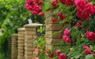 Вьющиеся розы цветущие все лето как развести