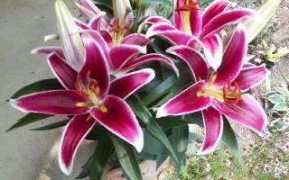 Садовые лилии посадка и уход фото и видео восточная белая трубчатая