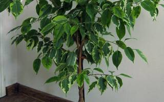 Фикус бенджамина свойства растения