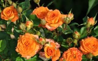 Миниатюрные розы описание и сортовое разнообразие