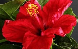 Гибискус – китайская роза