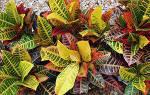 Комнатное растение кротон как ухаживать