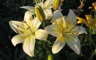 Общие сведения о растении лилия