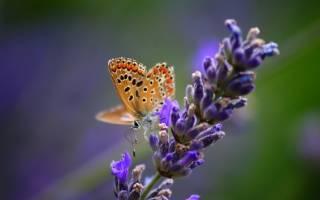 Как сажать лаванду семенами в домашних условиях