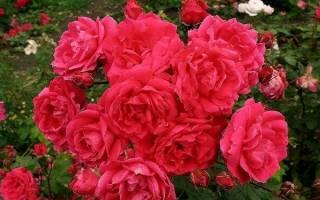 Парковые розы и их фото