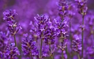 Цветы фиолетового цвета названия и фото