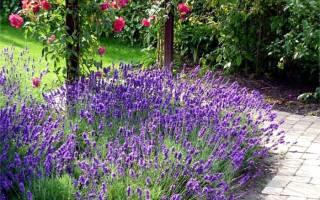 Лаванда многолетнее растение