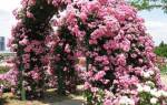 Вьющиеся розы подробное описание