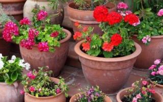 Цветы для вазонов на улице