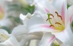 Обрезка лилий после цветения