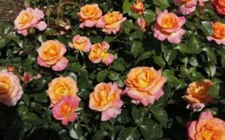 Красивые чайно гибридные розы посадка решает все