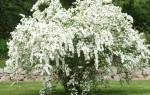 Спирея белая невеста фото