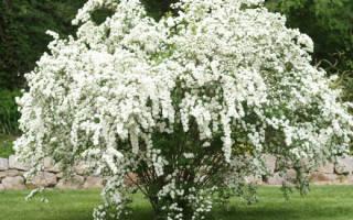 Посадка и уход за спиреей белая невеста
